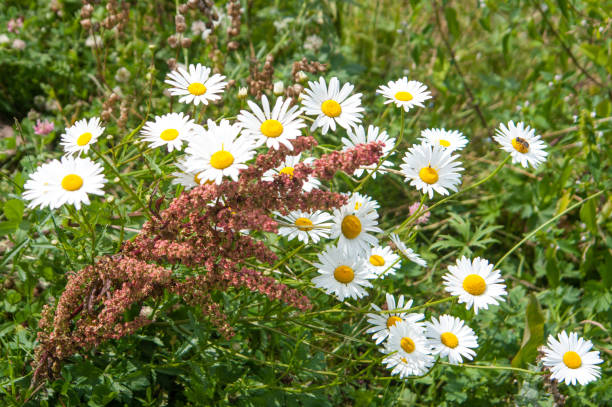Camomiles in a wild meadow stock photo
