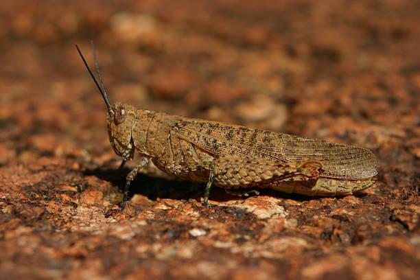 Camouflage Grasshopper stock photo