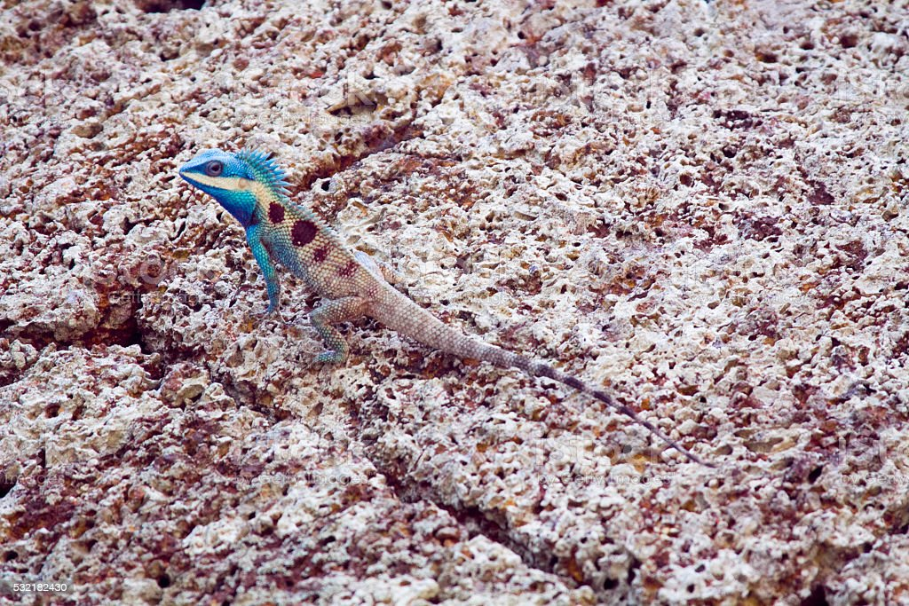 Camouflage Lizard with blue head on the Rock stock photo