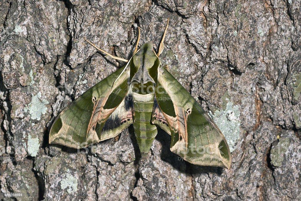 Camouflage Moth stock photo