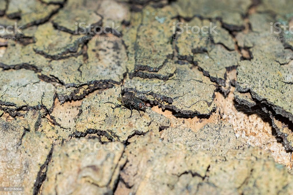 Camouflage pattern like Sycamore Platunus tree bark with fly stock photo