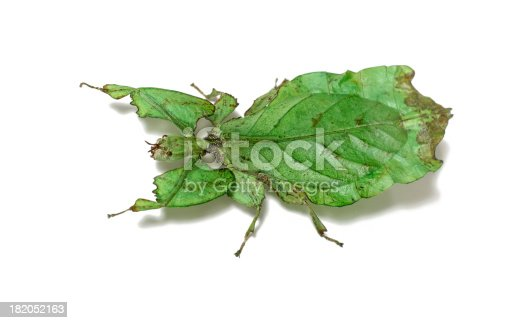 Leaf insect on white.