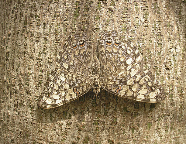 camouflage Camouflage of a butterfly on the bark of a tree camouflage stock pictures, royalty-free photos & images
