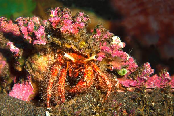 Camouflage to survive - this little crab carries an anemone on its back to protect itself from enemies   Tarnung, um zu Überleben - diese kleine Krabbe trägt  eine Anemone auf dem Rücken, um sich vor Feinden zu schützen – Foto