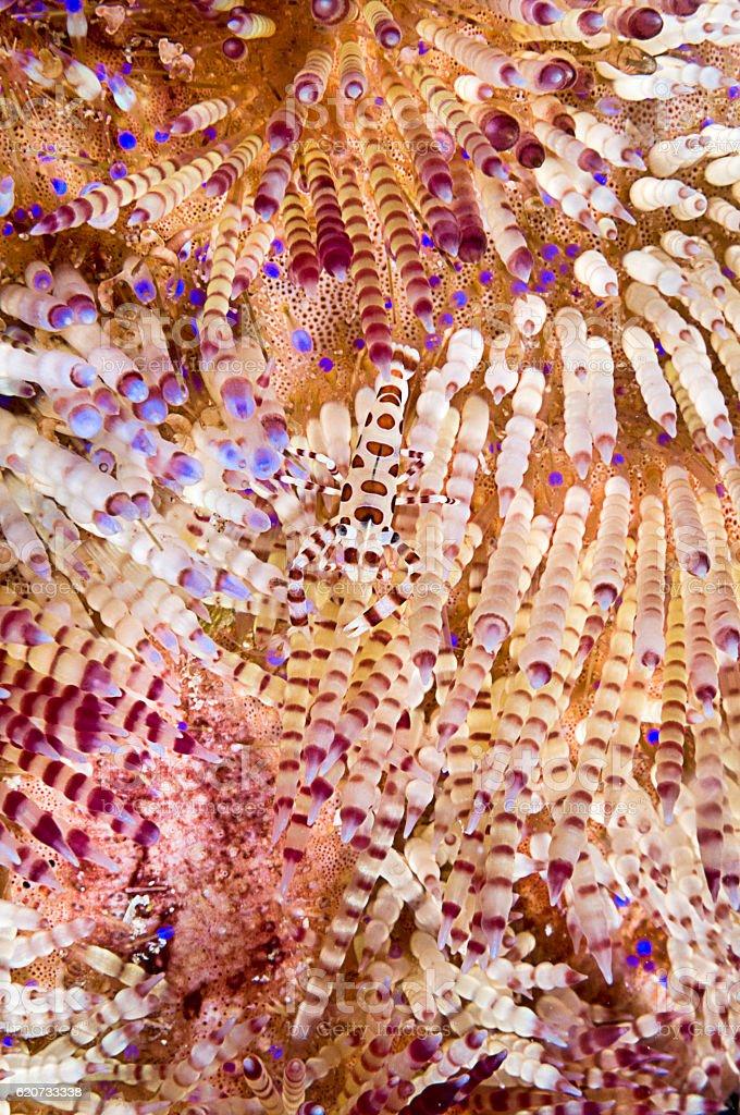 Camouflaged Coleman's Shrimp stock photo