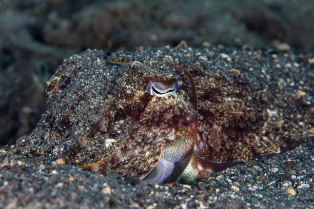 Camouflaged Cuttlefish in Sand A well-camouflaged cuttlefish hides under a layer of sand in Indonesia. cuttlefish stock pictures, royalty-free photos & images