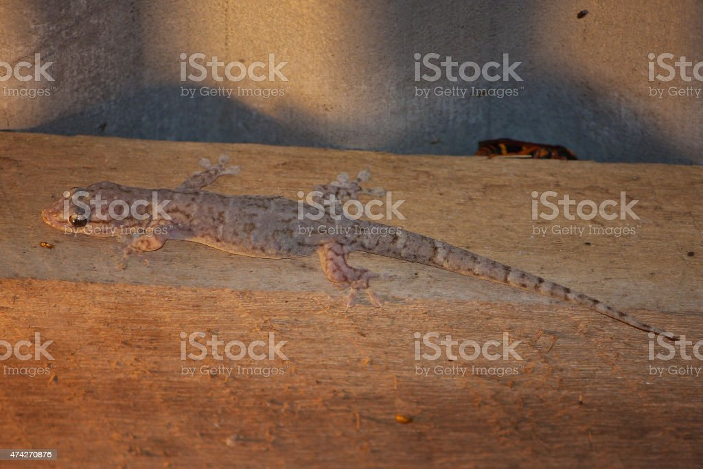 Camouflaged house gecko stock photo