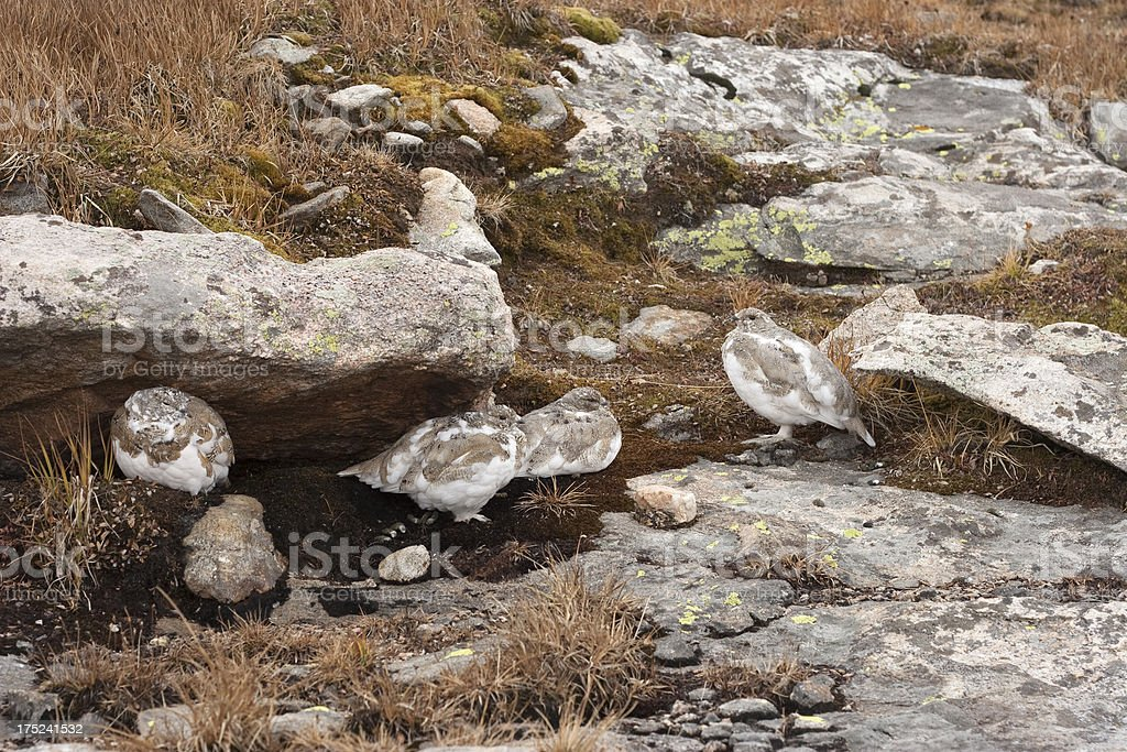 Camouflaged Ptarmigan on Mt. Evans Colorado royalty-free stock photo