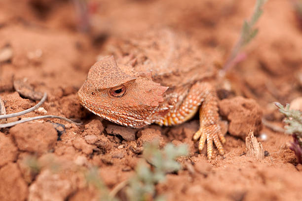 Camouflaged wild desert horned lizard Cedar Mesa Utah stock photo
