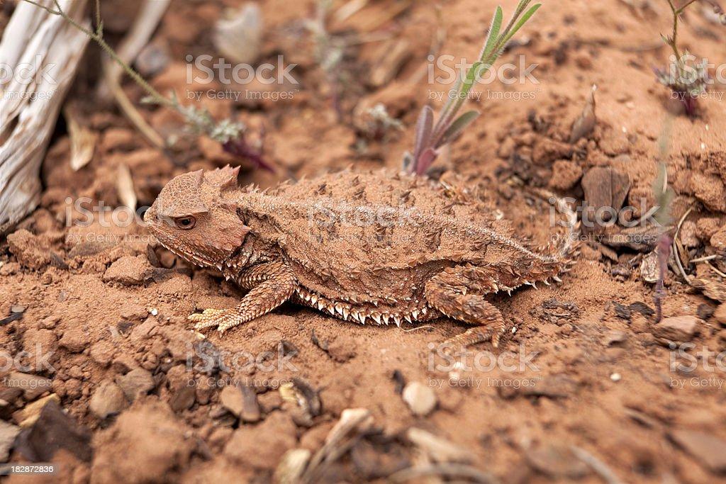 Camouflaged Wild Desert Horned Lizard, Utah stock photo