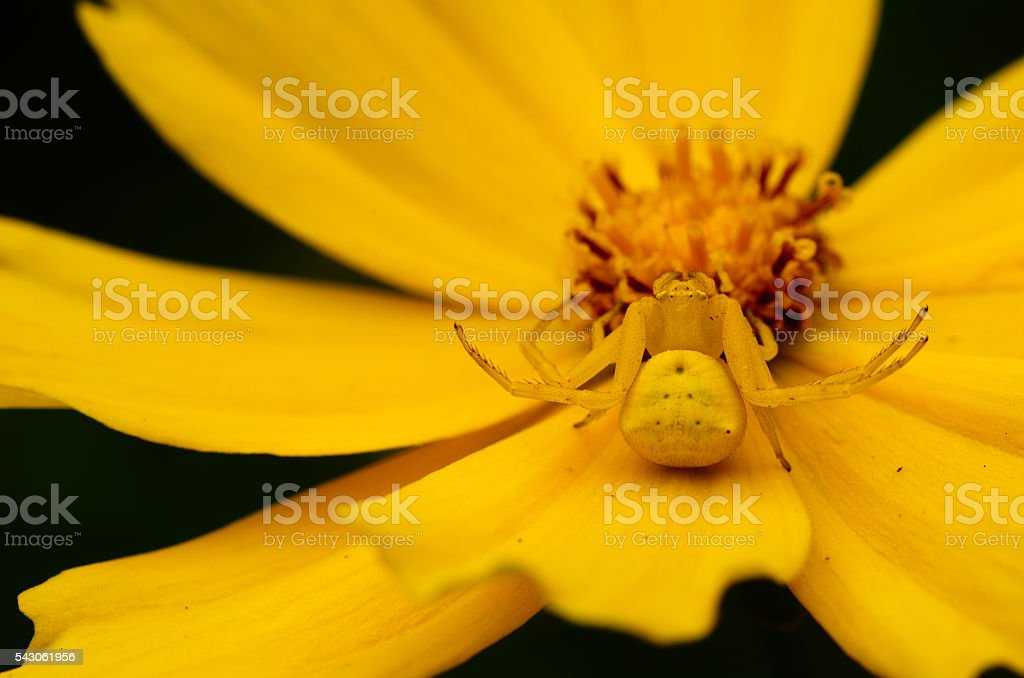 Camouflaged yellow crab spider on yellow flower stock photo
