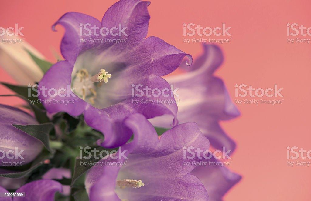 Campanula- bell flower stock photo