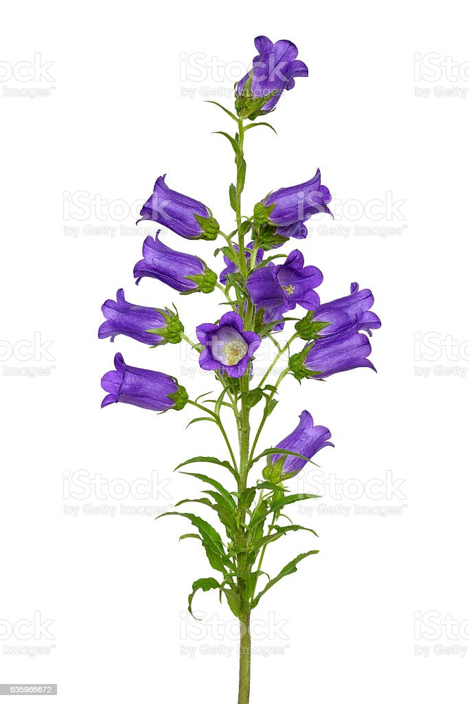 Campanula flower isolated stock photo