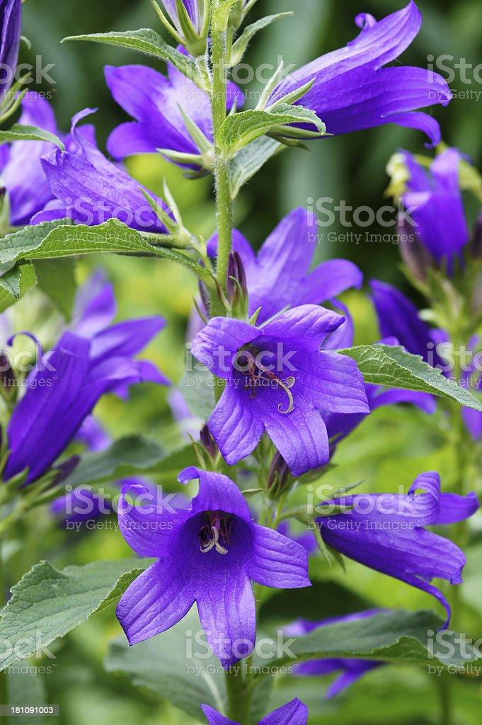 Campanula flowers royalty-free stock photo