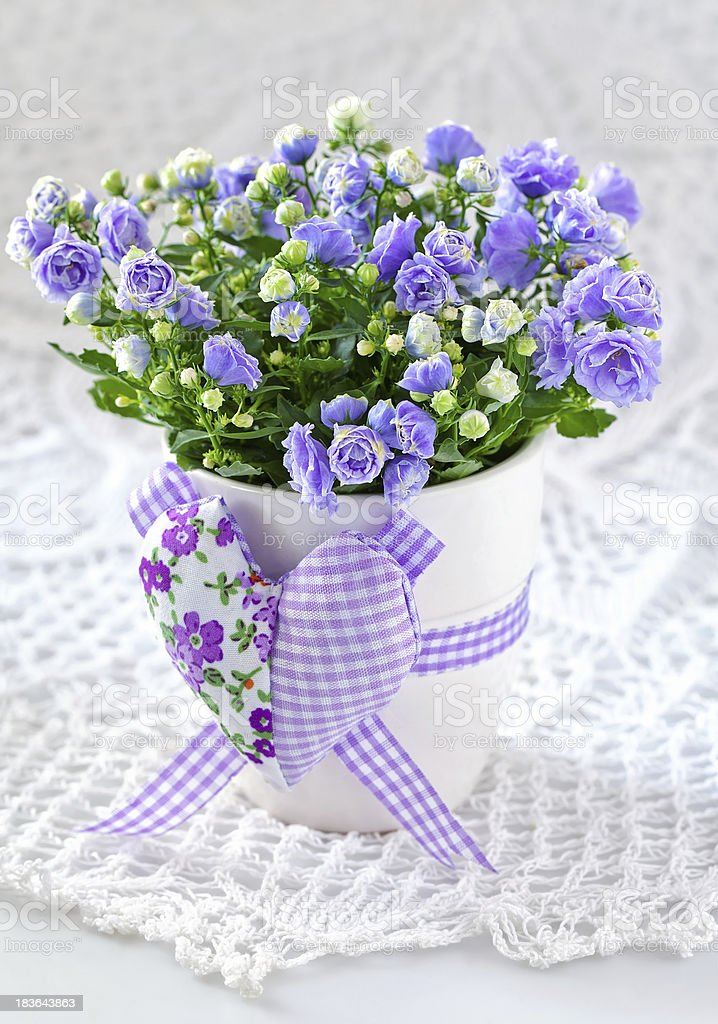 Campanula Blumen – Foto