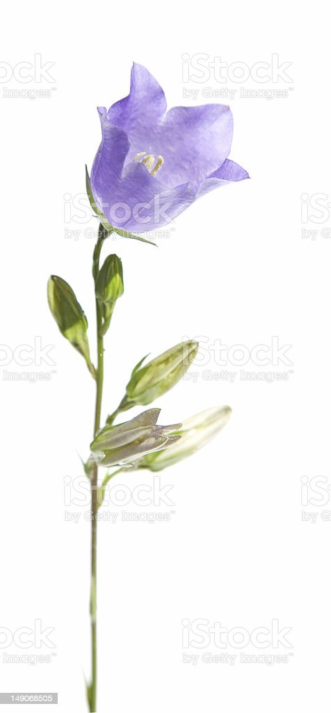 campanula (bellflower), isolated royalty-free stock photo