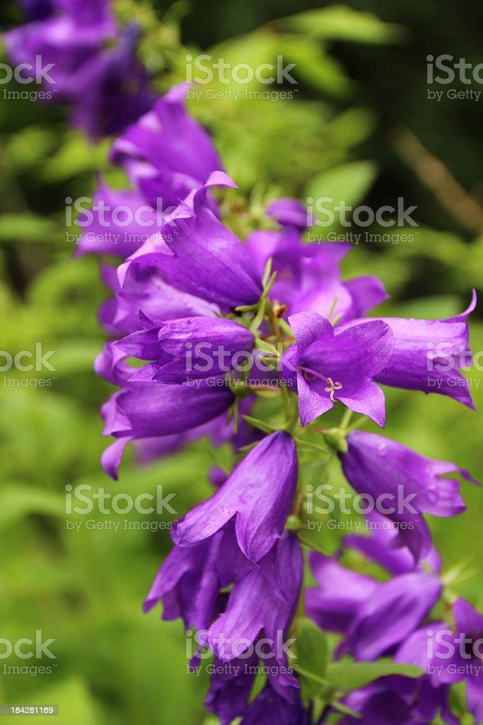 Campanula latifolia - Wald-Glockenblume stock photo
