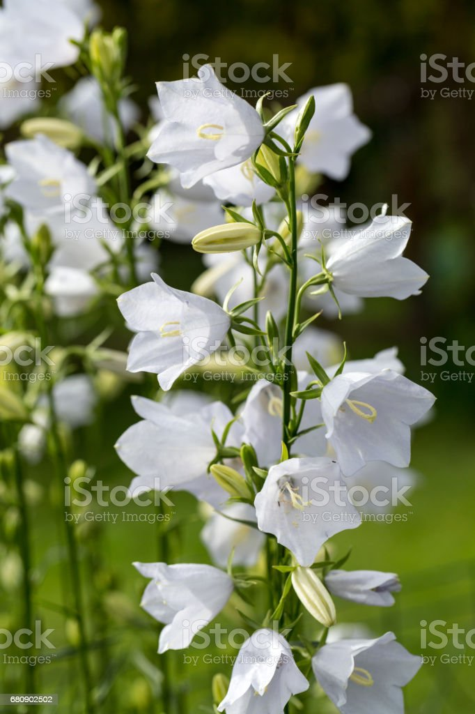 Campanula or canterbury bells flowers royalty-free stock photo