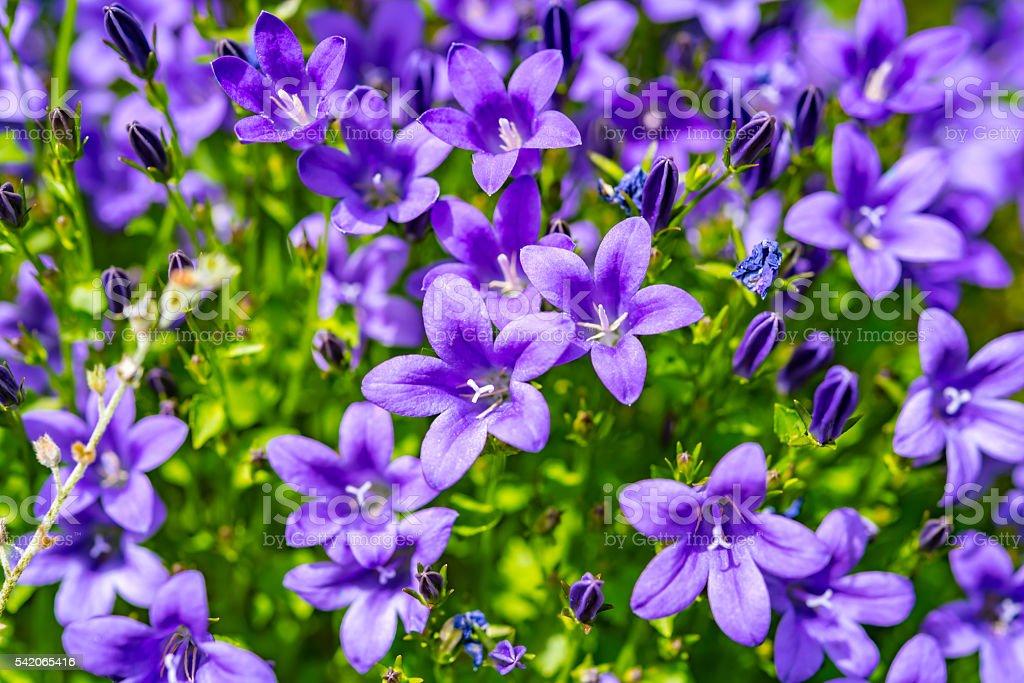 Campanula purple flowers and blue sky stock photo