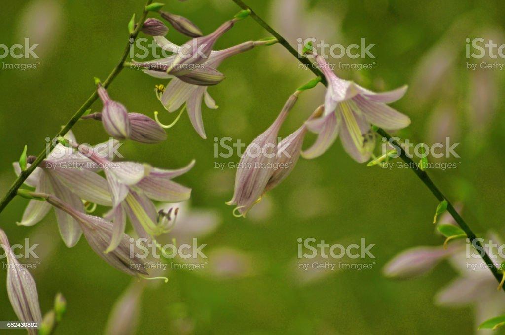 Campanula rapunculoides, The Evil Twin fleurs New York photo libre de droits