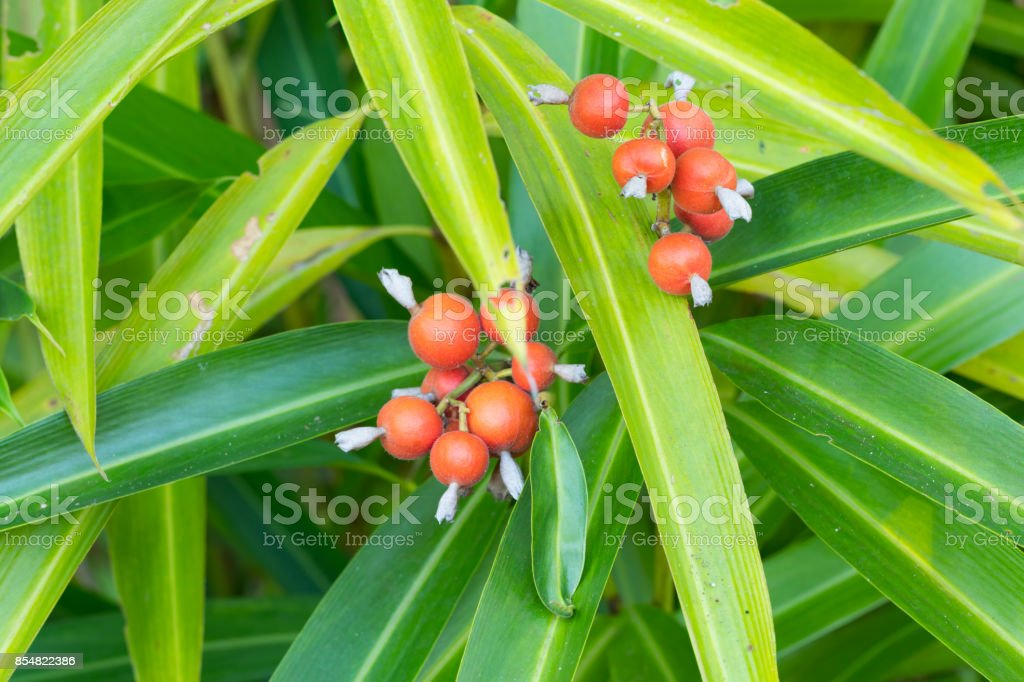 Camphor seeds,  siam cardamon, Clustered cardamom. - Amomum testaceum Ridl. - ZINGIBERACEAE. stock photo