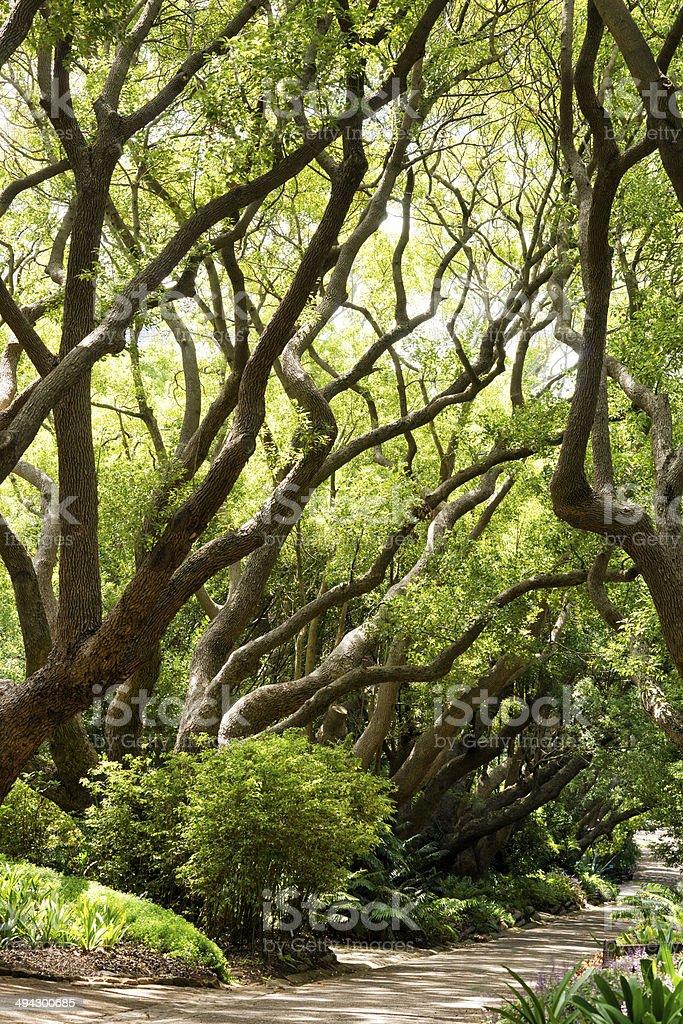 Camphor trees at Kirstenbosch National Botanical Garden stock photo