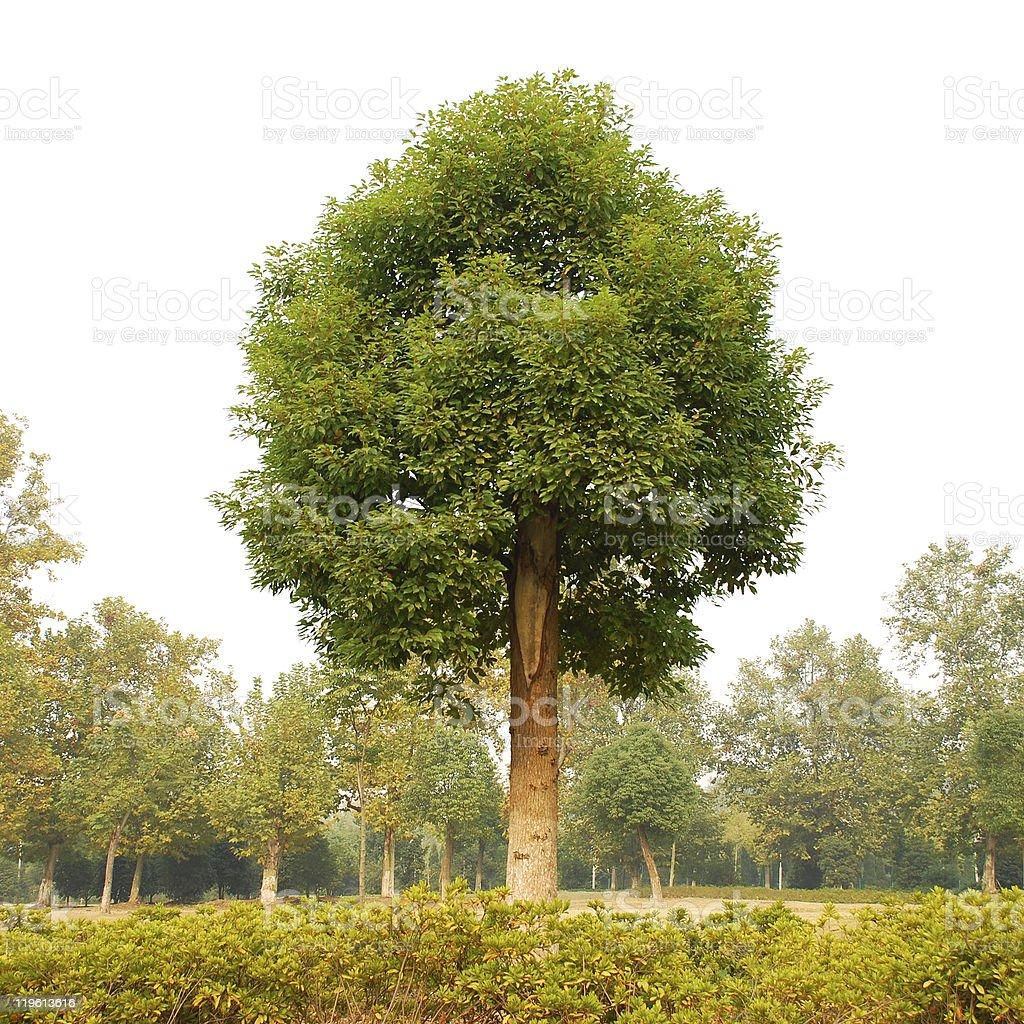 Camphor Trees stock photo