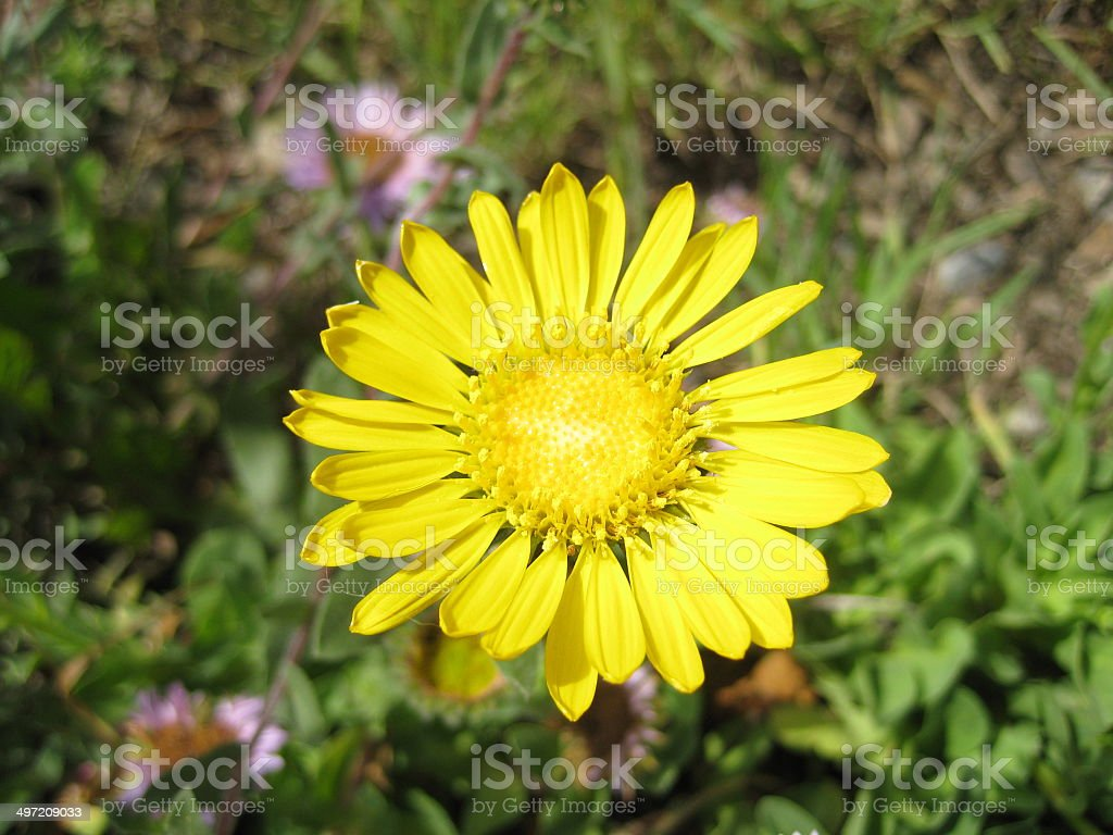 Camphor Weed Yellow California Wild Flower Stock Photo More