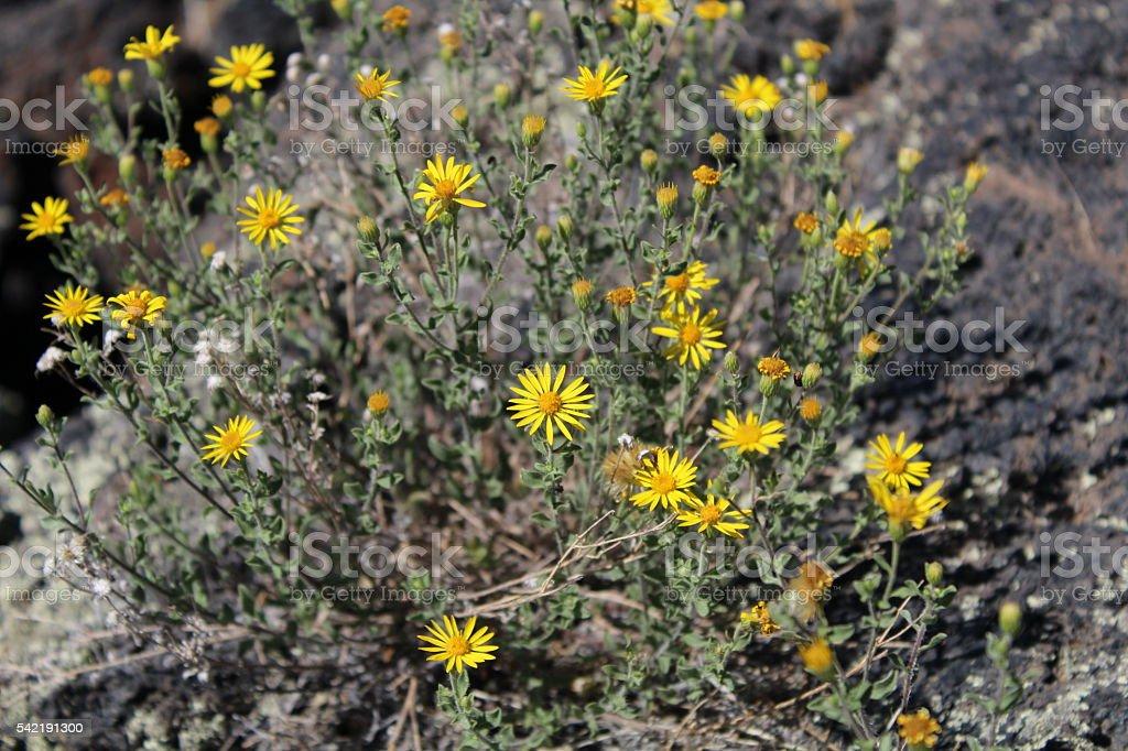 Camphorweed Wildflower stock photo