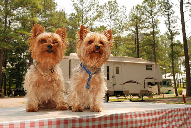 Camping Yorkies stock photo