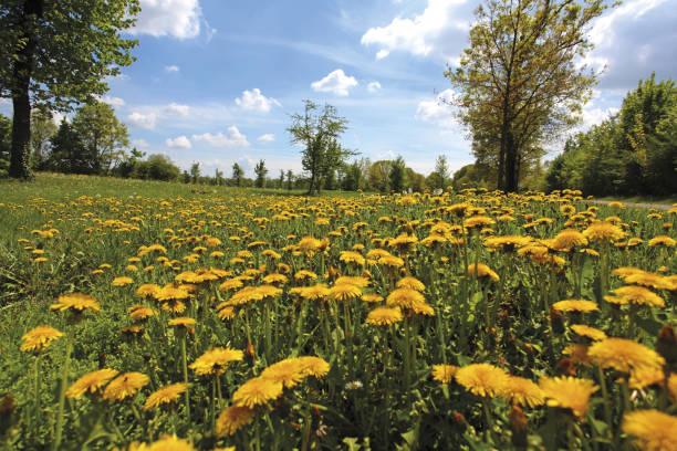 campo, fiorito, prato fiorito - gigifoto foto e immagini stock