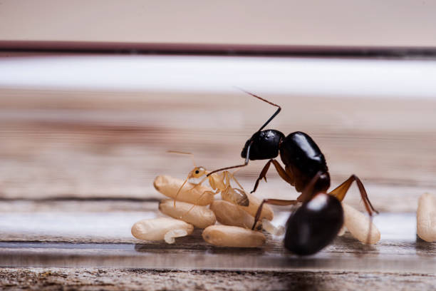 Camponotus sanctus Queen Ant with worker and pupa Camponotus Sanctus queen ant ant stock pictures, royalty-free photos & images