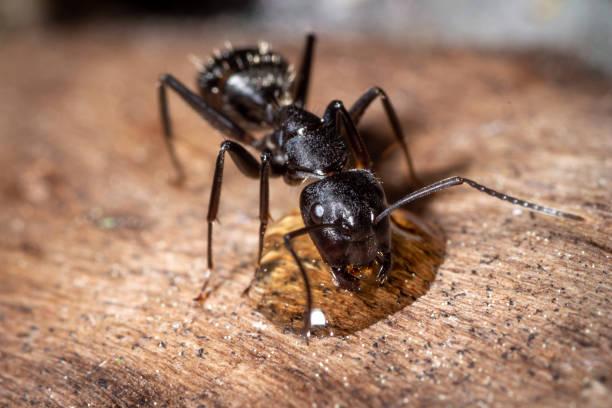Camponotus vagus trinken – Foto