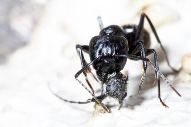 Camponotus vagus mit dem Kopf zwischen den Kiefern – Foto