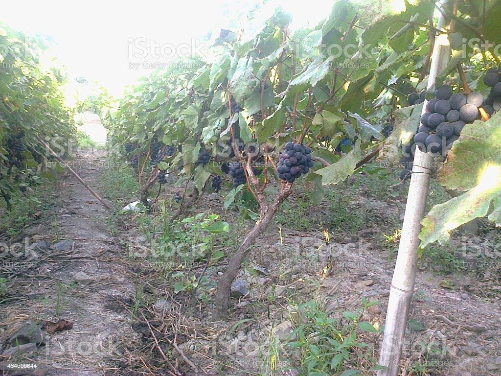 campos de uvas stock photo