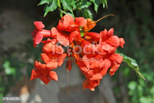 Beautiful red flower of the trumpet vine or trumpet creeper (Campsis radicans)