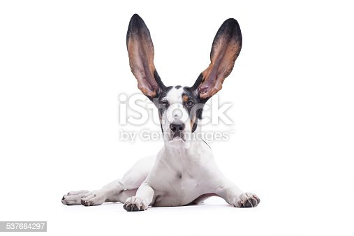 Hunting Dog with flying ears