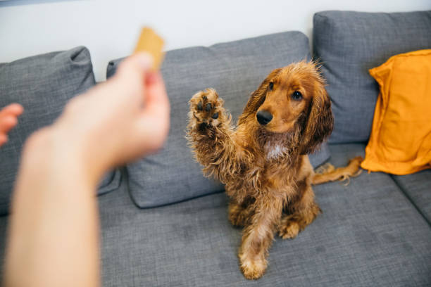 Can I Have a Snack? A red cocker spaniel is sitting on a grey sofa indoors. He is raising his paw as his unrecognisable owner holds a snack. animal tricks stock pictures, royalty-free photos & images