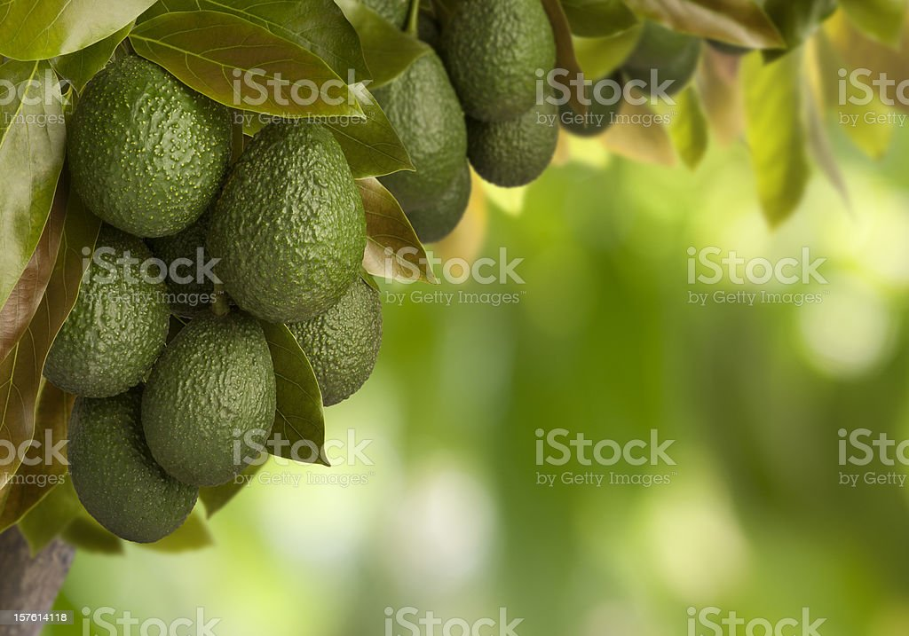 Can You Say Guacamole? stock photo
