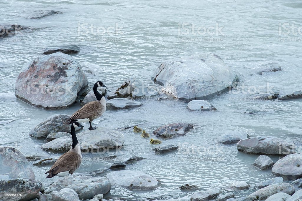 Canada Geese and Family stock photo