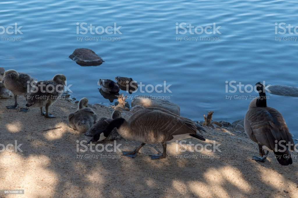 Canada Geese and Goslings on Virginia Lake in Reno Nevada stock photo