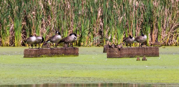 Canada geese and mallard ducks stock photo