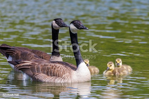 Two adult Canada geese and three babys at Stow lake of Golden Gate Park, San Francisco.