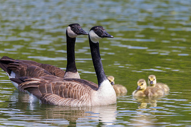 Canada geese and their baby at Golden Gate Park Two adult Canada geese and three babys at Stow lake of Golden Gate Park, San Francisco. canada goose stock pictures, royalty-free photos & images