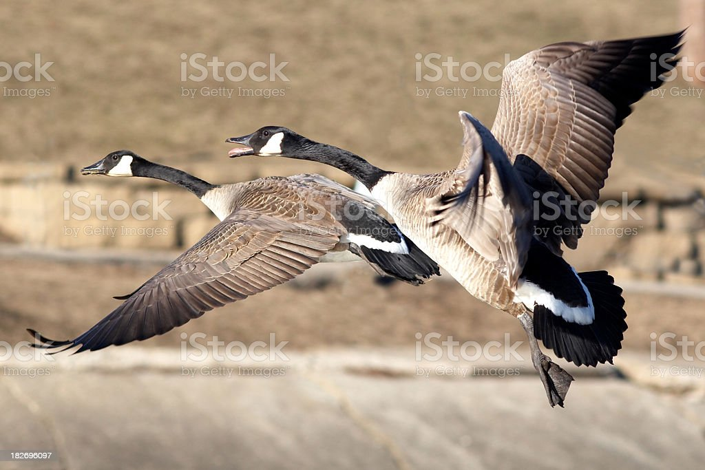 Canada Geese Couple royalty-free stock photo