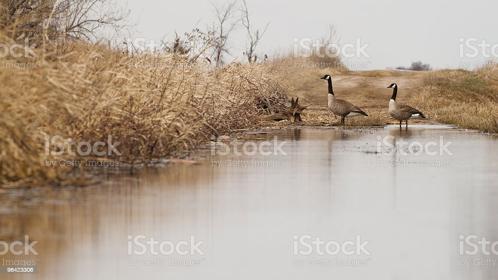 Canada Geese cross a flooded South Dakota Road royalty-free stock photo