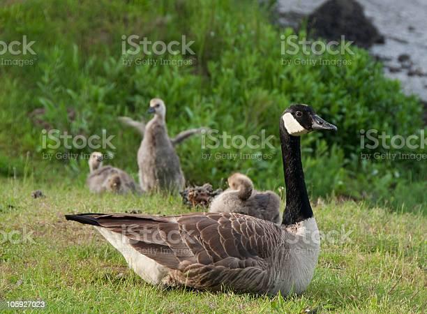 Canada geese family picture id105927023?b=1&k=6&m=105927023&s=612x612&h=loqapw4o8yaz7tk2osgpl4qp2hpyvc ev zt9owzowu=