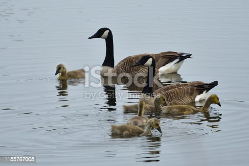 Canada Geese Family Swimming in a Pond