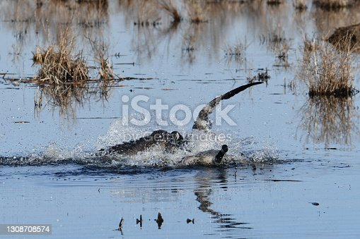 Territorial Canada Goose fighting in marsh