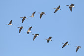 v shaped of geese flying over head